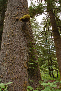 Beautiful Giant Sitka Spruce and Old Cedars Tours