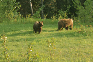 Grizzly bears playing tag