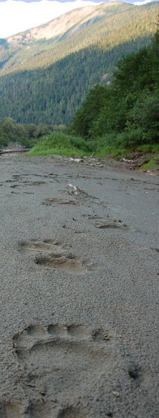 Grizzly Tracks on the sand bar by Exchamsiks River